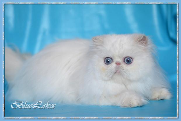 Cattery persian himalayan cats