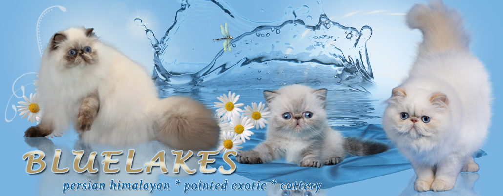 Cattery persian himalayan cats